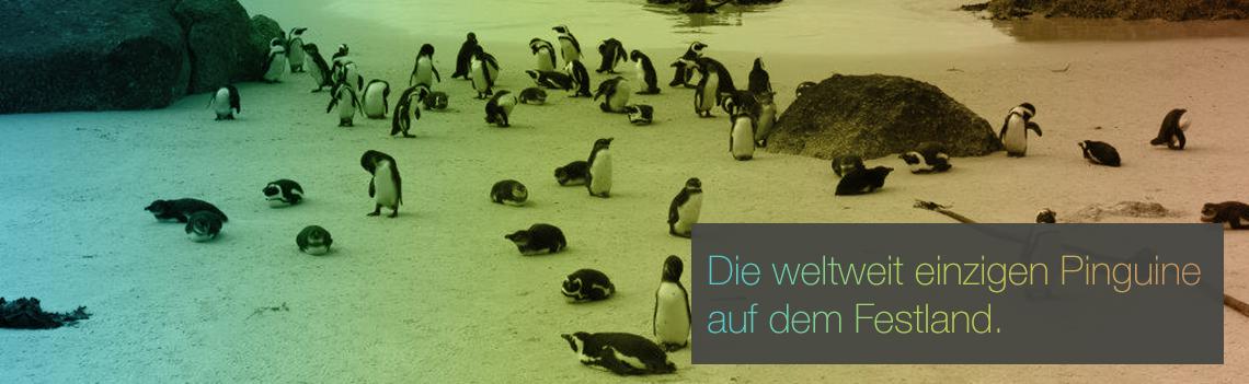 Die weltweit einzigen Pinguine auf dem Festland